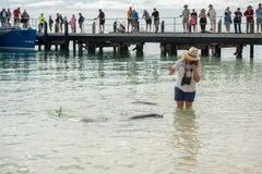 ALBERN Sie MIA, AUSTRALIEN - AUGUST, 28, 2015 - Delphine nahe dem Ufer kontaktieren Menschen herum Stockfotografie