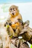 Albern Sie mit einem Babyaffen auf ihrem Kasten herum Lizenzfreies Stockfoto