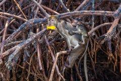 Albern Sie mit Mango im Mund herum und Baby unterstützen an, Thailand Lizenzfreie Stockfotografie