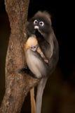 Albern Sie Mutter und ihr Baby auf Baum herum (Presbytis-obscura Reid). Lizenzfreies Stockfoto