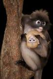 Albern Sie Mutter und ihr Baby auf Baum herum (Presbytis-obscura Reid). Lizenzfreie Stockbilder