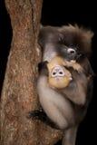 Albern Sie Mutter und ihr Baby auf Baum herum (Presbytis-obscura Reid). Lizenzfreie Stockfotografie