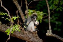Albern Sie Mutter und ihr Baby auf Baum herum (Presbytis-obscura Reid). Lizenzfreie Stockfotos