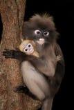 Albern Sie Mutter und ihr Baby auf Baum herum (Presbytis-obscura Reid). Lizenzfreies Stockbild