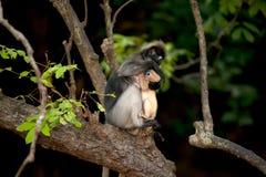 Albern Sie Mutter und ihr Baby auf Baum herum (Presbytis-obscura Reid). Stockbild