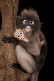 Albern Sie Mutter und ihr Baby auf Baum herum (Presbytis-obscura Reid). Stockfoto