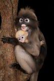 Albern Sie Mutter und ihr Baby auf Baum herum (Presbytis-obscura Reid). Stockfotos