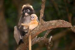 Albern Sie Mutter und ihr Baby auf Baum herum (Presbytis-obscura Reid). Stockbilder