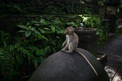 Albern Sie Porträt vom heiligen Affen Forest Sanctuary in Ubud, Bali, Indonesien herum Lizenzfreie Stockfotografie