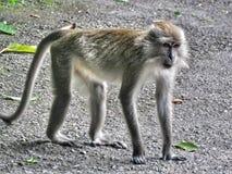 Albern Sie /Primate/Affen im wilden/in der Krabbe Makaken essend herum lizenzfreies stockbild