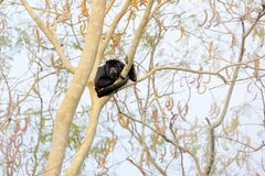 Albern Sie schwarzen Summer, Alouatta caraya, Naturlebensraum herum Schwarzer Affe, der im Waldschwarz-Affebaum sitzt Tier in Pan lizenzfreies stockbild