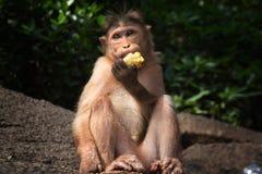 Albern Sie sitzt auf den Felsen im Dschungel und isst eine Banane herum Lizenzfreies Stockfoto