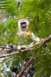 Albern Sie vervet auf einem Baum herum, der eine Mango isst Lizenzfreie Stockbilder