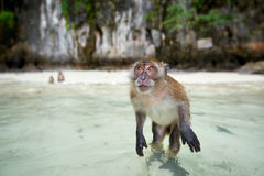 Albern Sie WarteLebensmittel im Affe-Strand, Phi Phi Islands, Thaila herum Stockfotos