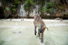 Albern Sie WarteLebensmittel im Affe-Strand, Phi Phi Islands, Thaila herum Lizenzfreie Stockfotos