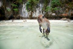 Albern Sie WarteLebensmittel im Affe-Strand, Phi Phi Islands, Thaila herum Stockfotografie