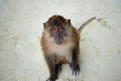 Albern Sie WarteLebensmittel im Affe-Strand, Phi Phi Islands, Thaila herum Stockfoto