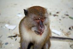 Albern Sie WarteLebensmittel im Affe-Strand, Phi Phi Islands, Thaila herum Lizenzfreies Stockbild
