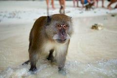 Albern Sie WarteLebensmittel im Affe-Strand, Phi Phi Islands, Thaila herum Lizenzfreie Stockfotografie
