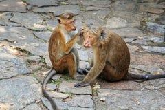 albern Sie weibliche Sorgfalt für einen verletzten männlichen Affen herum Stockfotografie