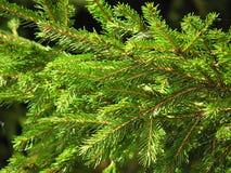 Albero, abete, punte verdi, estate, stagione, ramo, zampa attillata, macro Immagini Stock