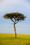 Albero in Africa Fotografia Stock
