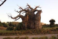 Albero africano del baobab Fotografia Stock