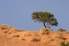 Albero africano dell'acacia Fotografie Stock Libere da Diritti