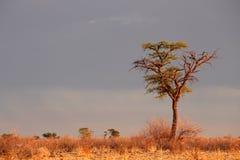 Albero africano dell'acacia Fotografie Stock