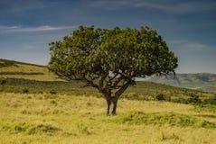 Albero africano della salsiccia in Savannah Masai Mara Kenya immagini stock