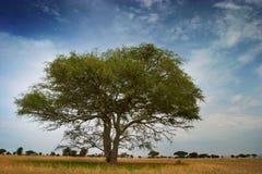 Albero africano di Tipycal sulla sosta di serengeti Fotografie Stock
