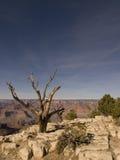 Albero al grande canyon Fotografia Stock Libera da Diritti