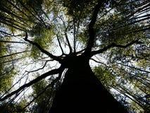 Albero all'interno della foresta di bambù Fotografia Stock Libera da Diritti