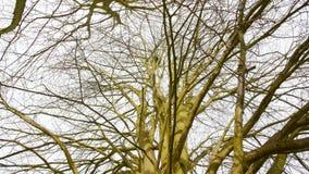 Albero alto con la versione 1 del nido fotografia stock