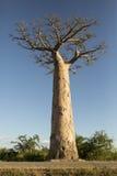Albero alto del baobab Immagini Stock