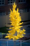 Albero alto singolare in un ambiente urbano, mettente in mostra un cappotto sbalorditivo del fogliame di autunno giallo un giorno fotografia stock