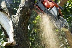 Albero alto vicino di taglio con una motosega Trucioli dell'albero fotografia stock libera da diritti