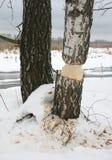 albero ambizioso del castoro Immagine Stock Libera da Diritti
