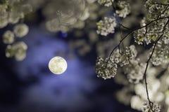 Albero & luna di pera Fotografia Stock