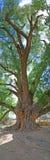 albero antico del cottonwood Immagini Stock Libere da Diritti