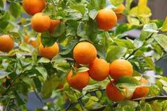 Albero arancio con la frutta Fotografia Stock Libera da Diritti