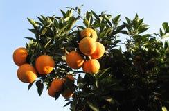 Albero arancione Fotografie Stock