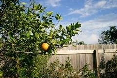 Albero arancione Fotografie Stock Libere da Diritti