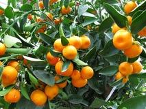 Albero arancione Fotografia Stock