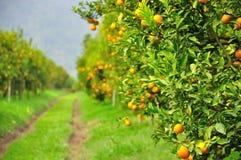 Albero arancione fotografia stock libera da diritti