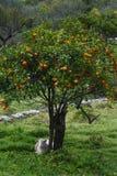 Albero arancione Immagine Stock