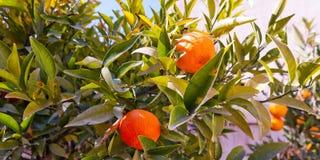 Albero arancione immagini stock