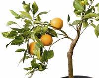 Albero arancione con la frutta in POT Immagine Stock Libera da Diritti