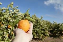 Albero arancione e frutta Immagini Stock Libere da Diritti