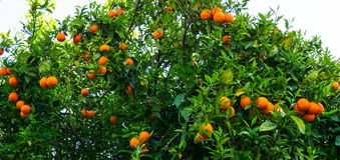 Albero arancione frutta del giardino Fotografie Stock Libere da Diritti